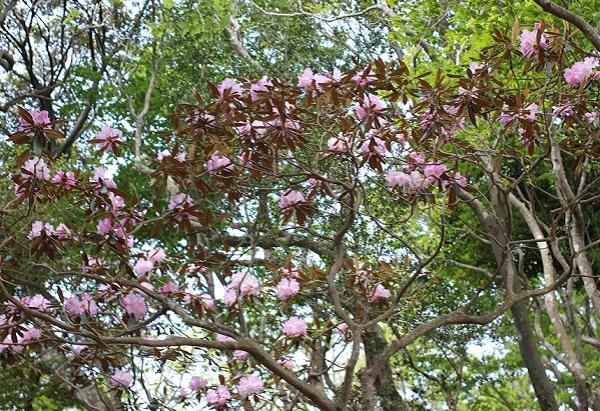 大きなツクシシャクナゲの木の写真
