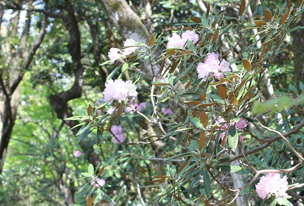 ツクシシャクナゲの花の写真