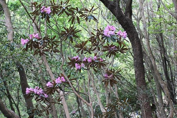 山に咲く美しいツクシシャクナゲの花の写真