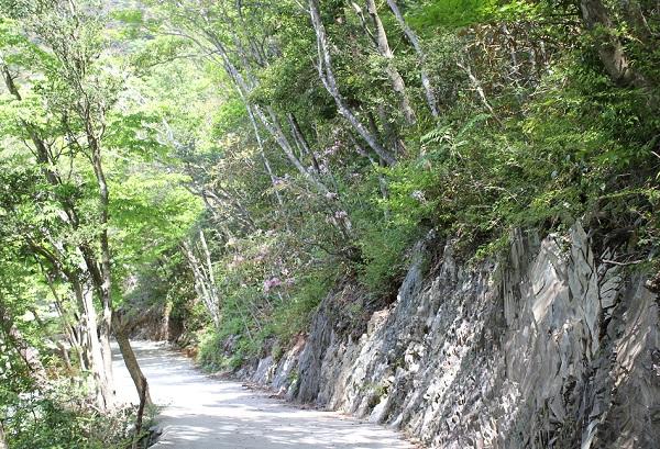 新緑が美しい多良岳ツクシシャクナゲ群叢、散策道