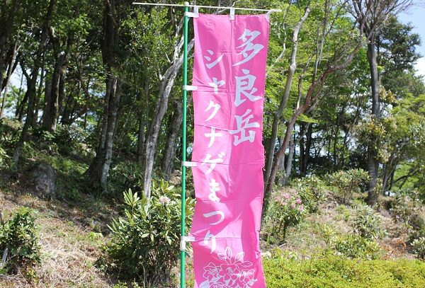 多良岳ツクシシャクナゲまつりのピンクの旗の写真