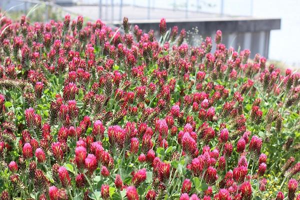 諫早湾干拓堤防道路(雲仙多良シーライン)に咲くクリムゾンクローバーの写真
