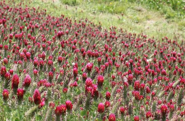 クリムゾンクローバーの群生の写真