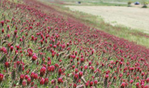 諫早湾中央干拓地で咲いているクリムソンクローバーの群生