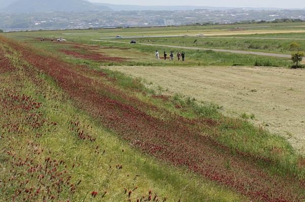クリムゾンクローバーが咲いている中央干拓地の堤防付近の写真