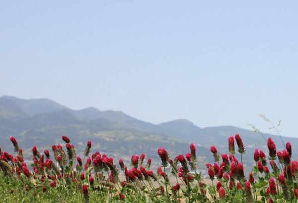 多良岳を背景に咲くクリムソンクローバー(ストロベリーキャンドル)の写真