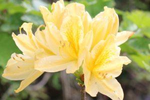 黄色いツツジ、キレンゲツツジの花の写真