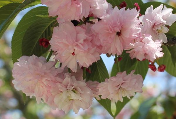 オオムラザクラ(大村桜)のアップ写真