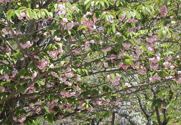 オオムラザクラ(大村桜)が咲いてる様子の写真