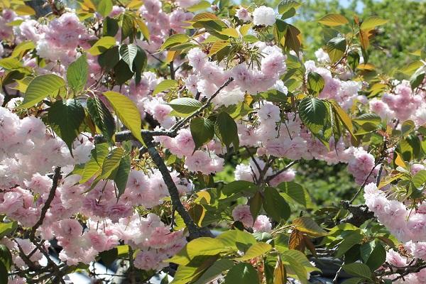 クシマザクラ(玖島桜)が咲いてる様子の写真