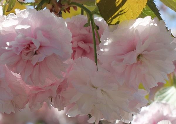 クシマザクラ(玖島桜)、花のアップ写真