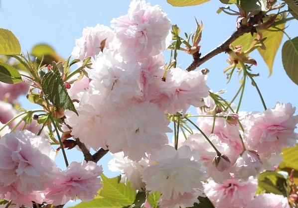 クシマザクラ(玖島桜)、枝から花が咲いてる様子の写真