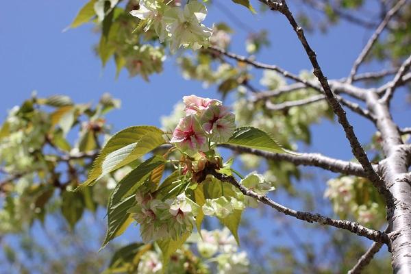 ギョイコウ(御衣黄)が咲いてる様子の写真
