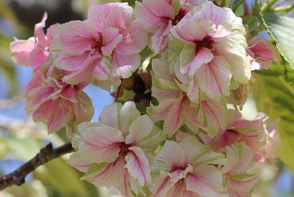 ギョイコウ(御衣黄)、花のアップ写真