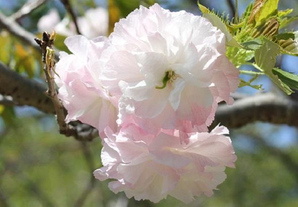 ショウゲツ(松月)の花のアップ写真