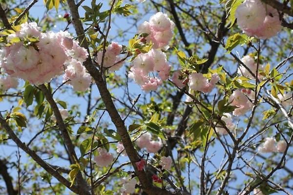 ショウゲツ(松月)が咲いてる様子の写真