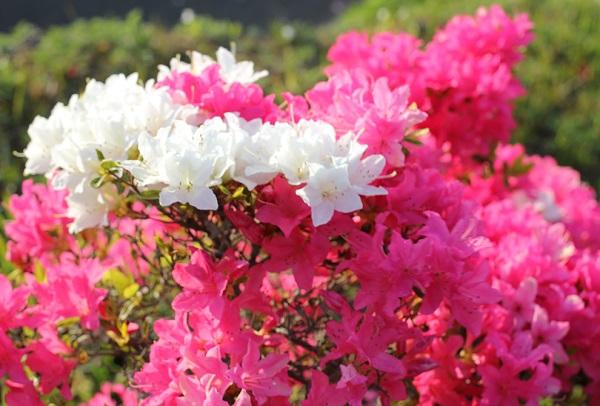 ピンクのツツジの上の方に、白いツツジが咲いてる様子