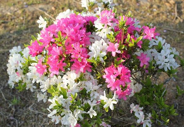 ピンクや白、斑入りの花などが咲いてるツツジの写真