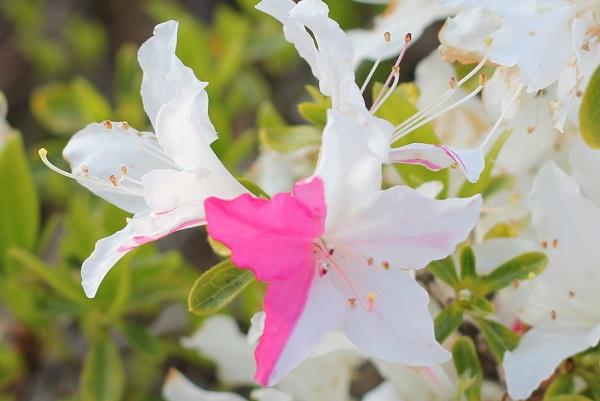 花の三分の一がピンクになってるツツジ