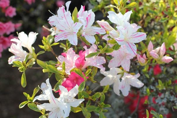 ストライプ模様、斑入り、白やピンクの花を咲かせていたツツジ