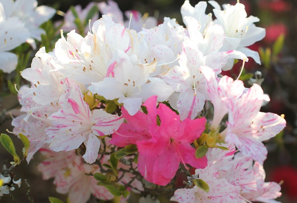 真っ白の花やしぼり咲きのツツジの花