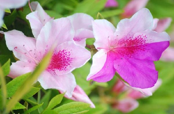 ピンクと赤紫の花を咲かせてるツツジ