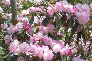 美しいツクシシャクナゲの花