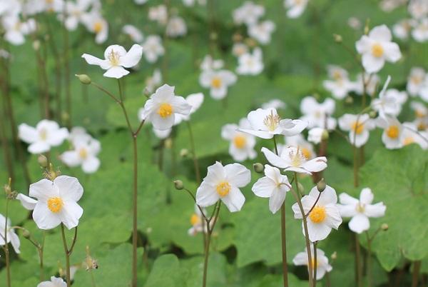 シラユキゲシ(スノーポピー)が咲いてる様子の写真