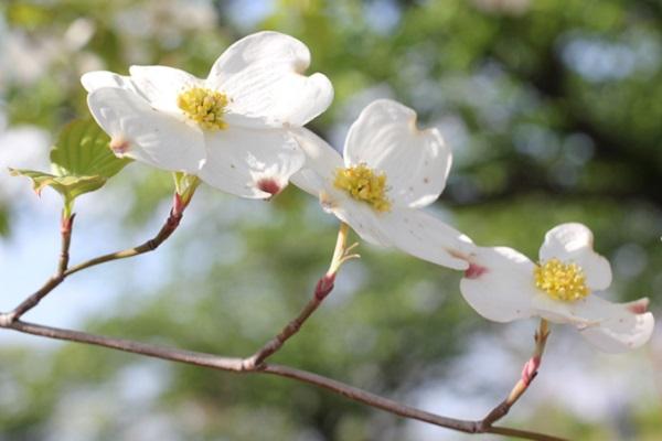 白いハナミズキの花の写真
