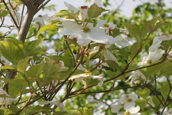 白いハナミズキ、葉と共に咲いてる様子の写真