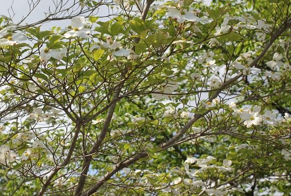 白いハナミズキがたくさん咲いてる様子の写真