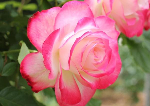ジュビレ・デュ・プリンス・ドゥ・モナコの花、アップ写真