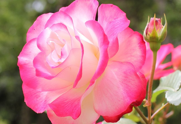 美しいジュビレ・デュ・プリンス・ドゥ・モナコの花