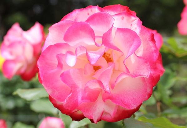 ジュビレ・デュ・プリンス・ドゥ・モナコ、満開に開いた花の写真