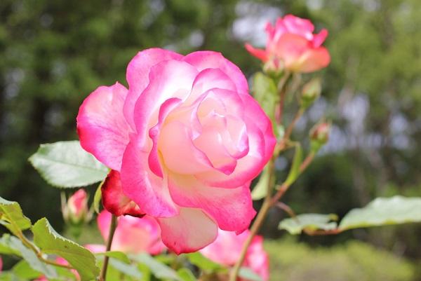美しいジュビレ・デュ・プリンス・ドゥ・モナコの花の写真