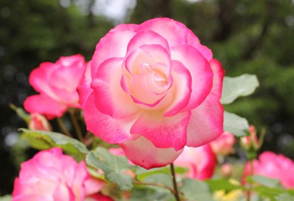 ジュビレ・デュ・プリンス・ドゥ・モナコの美しい花の写真