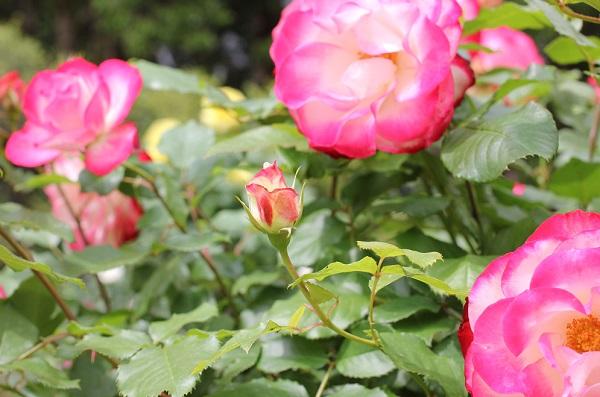 ジュビレ・デュ・プリンス・ドゥ・モナコが咲いている様子の写真