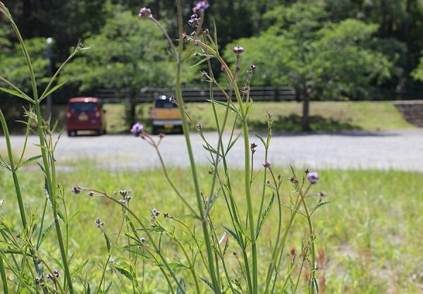 空き地に咲いてるアレチハナガサ(荒地花傘)の写真
