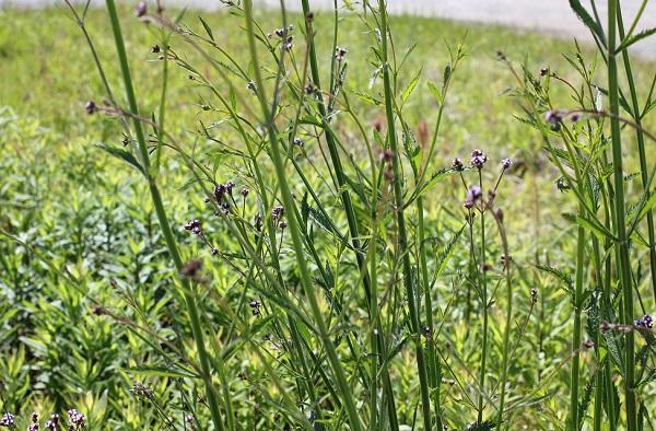 アレチハナガサ(荒地花傘)の茎の様子の写真