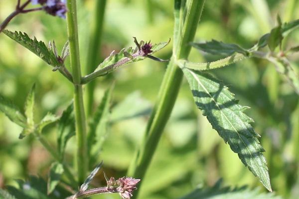 アレチハナガサ(荒地花傘)の葉の様子の写真