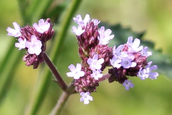 アレチハナガサ(荒地花傘)の花のアップ写真