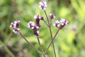 アレチハナガサ(荒地花傘)の花