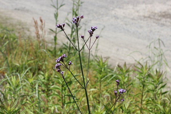 野に咲くアレチハナガサ(荒地花傘)の写真