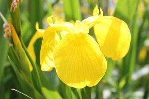 黄菖蒲 、鮮やかな花の写真