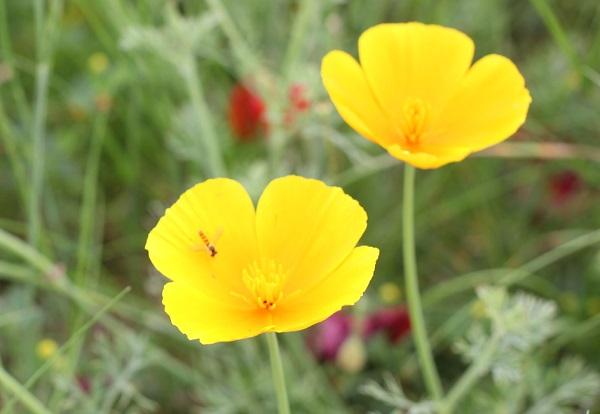 花菱草(ハナビシソウ)の花の写真