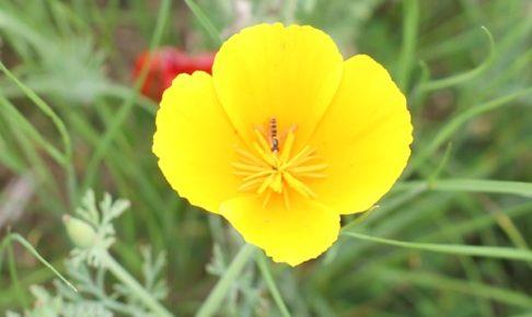 黄色いハナビシソウの花のアップ写真