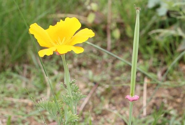 花菱草(ハナビシソウ)の花、開花後の写真