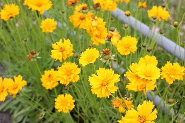 八重咲のオオキンケイギクがたくさん咲いてる写真