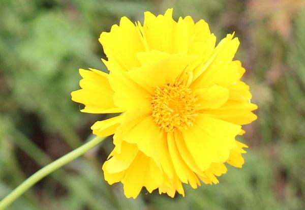 八重咲のオオキンケイギクの花のアップ写真