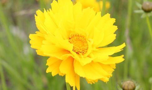 オオキンケイギクの花の写真